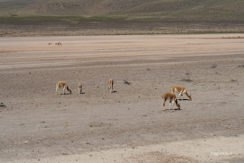 viqunas on the andean plateau