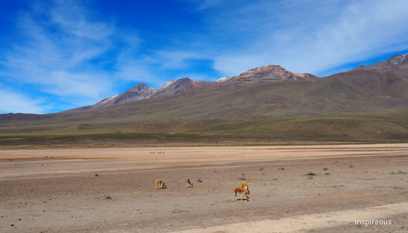 viqunas on the high plateau of the andes